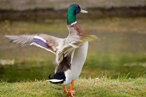 Michela Metcalf - Flapping duck
