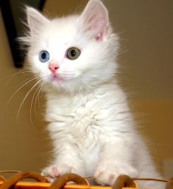 Turkish_Van_Cat
